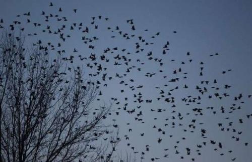 Uccelli invadono America
